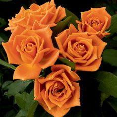 This caramel orange coloured rose is so scrumptious looking! Buttery-rich coppery buds open into clusters of fragrant orange beauties held tightly against shiny green leaves - like a bright pumpkin nestled in the field. Colorful Roses, Orange Flowers, Love Flowers, Love Rose Flower, Flower Colors, Orange Color, Bed Of Roses, Orange Rosen, Floribunda Roses