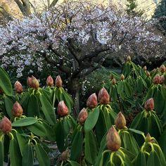 【chanteclergardens】さんのInstagramをピンしています。 《Beautiful white Japanese Cherry blossom , not yet in full bloom.Framed by fat Rhododendron buds #cherryblossoms #cherryblossom#japaneseblossoms#white #countrygarden #mygarden #today #spring #beautiful#rhododendron#buds#queenstown》