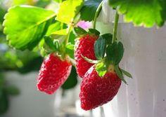 Como Plantar Morangos na varanda Para descobrir como plantar morangos basta seguir as seguintes dicas e em poucos meses terá a possibilidade de apreciar este saboroso fruto vermelho. A plantação de…