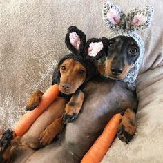 Miniature dachshunds wearing easter hats