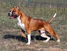American Staffordshire Terrier (Staffie) (Stafford) (Staffy) (Staff) (Am Staff) Pitbull Terrier, Terrier Dog Breeds, Pitbull Pups, American Staffordshire, Staffordshire Terriers, Sweet Dogs, Cute Dogs, Guard Dog Training, Bully Dog
