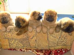 Cute Chow Chow Puppies Looking Beautiful | Cute puppy and dog
