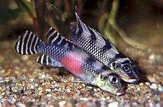Decor Aquarium Cichlid Ef Bf Bds Malawi
