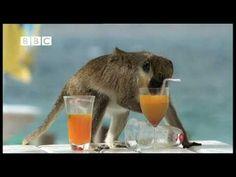Watch drunken monkeys steal cocktails from Carribean beach resorts. Fascinating.