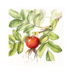 Rose hip from Rosa Rugosa