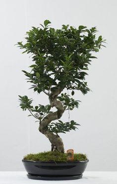 Μπονσάι (Bonsai) - Μικροσκοπική Μαγεία