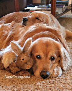 17 Reasons Golden Retrievers Are Not The Friendly Dogs Everyone Says They Are #GoldenRetriever