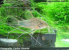 Corydoras Violeta