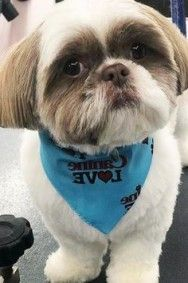 Shih Tzu Frisuren Luxury 82 Best Shih Tzu Grooming Hairstyles Images In 2019 - Frisuren Shih Tzu, Hair Images, Haircuts With Bangs, Cute, Funny