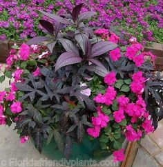 """This is another of my favorite plants! """"Persian Shield"""" (Strobilanthes) ..it is a great partial shade/morning sun lover, and goes great in pots with impatiens,begonias,caladiums( for some center of pot height) and I love to usr plants to drape over the pot edges like sweet potato vines,english ivies and lobelias..I can't wait for Spring!!"""