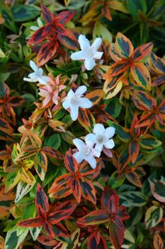 Abelia x grandiflora 'Kaleidoscope' - (Kaleidoscope Abelia) - One of the best semi-evergreen shrubs for southern regions from Portsmouth, NH onwards.  Its variegated leaves provide additional winter interest while it is covered in fragrant, white blooms all summer long from May onwards.  Protect with a blanket overnight when weather threatens to go much below zero.  Grows to 10'