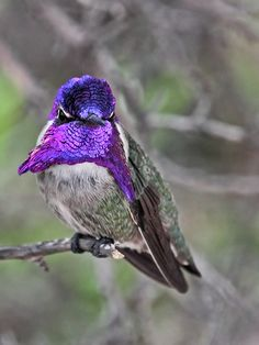 Flashing Costa's Hummingbird. Photography by Papatheo