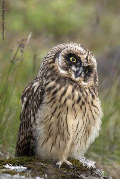 Brandugla - Short-eared Owl - Asio flammeus   By Björgvin Sigurbergsson