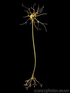 Computer artwork of a nerve cell, also called a neuron. Wall Art Prints, Poster Prints, Brain Art, Science Art, Life Science, Human Body, Artwork, Blood Cells, Climate Change