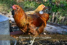 30 Reasons to Own Chickens