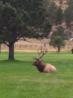 Big Bull Elk, Estes Park CO.