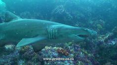 Pro Dive diving with sharks in Port Elizabeth South Africa