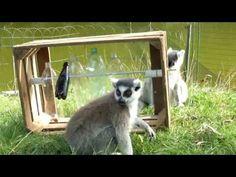 Ring-tailed lemurs enrichment: Bottle Puzzle Feeder - YouTube