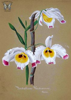 Dendrobium wardianum. Collection d'orchidées (aquarelles originales) (1850-1870) [n.a.] |