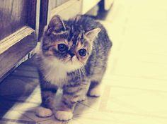 exotico gato