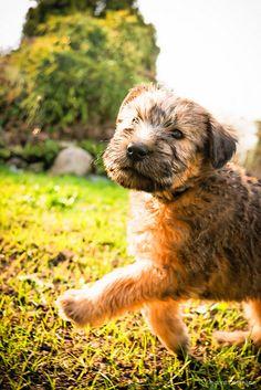Irish Coat Wheaten Terrier Puppies - 6 weeks old, via Flickr. I love Wheatens....
