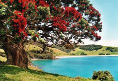 "New Zealand, Northland, Bay of Islands, Potutukawa Tree. These robust trees bloom throughout December and January, so are often called ""The New Zealand Christmas Tree"" New Zealand North, New Zealand Travel, The Places Youll Go, Places To Visit, Foto Picture, New Zealand Landscape, Bay Of Islands, Nz Art, Kiwiana"