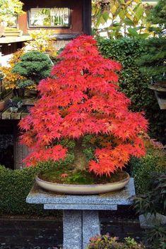 Japanese Maple Tree Care, Japanese Maple Bonsai, Potted Trees, Trees To Plant, Bonsai Azalea, Bonsai Forest, Red Maple Tree, Bonsai Plants, Shade Trees