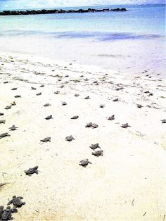 Some lovely news courtesy of Coconut Bay Beach Resort & Spa, St Lucia. During the morning of Monday September, 124 hawksbill turtle eggs hatched on the beach. All survived and have been released into the sea. Vacation Trips, Vacation Spots, Places To Travel, Places To Visit, Saint Lucia, Caribbean Sea, Resort Spa, Beach Resorts, Turtles
