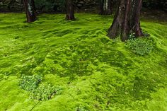 Moss, the other ground-hugging green plant, may be the ultimate no-mow, low-care lawn when circumstances are right. Low Maintenance Landscaping, Low Maintenance Garden, Moss Lawn, Growing Moss, Patio Layout, Garden Cottage, Yard Design, Lawn Care, Yard Landscaping