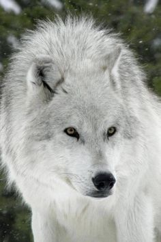 The white wolf is one of the most dangerous animals!!!!!!