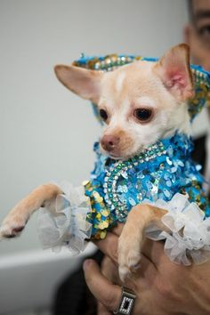 90461176e479 Couture Dog of New cover model of New York Kimba Rubio poses wearing a  magnificent sky blue sequined tuxedo with jeweled edges and ruffles on cuffs