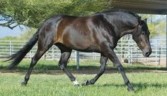 Mangalarga Marchador Horse Breed