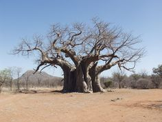 Baobab -  Tshipise Travel Memories, South Africa, Images, Around The Worlds, Plants, African, Travel Souvenirs, Planters, Plant