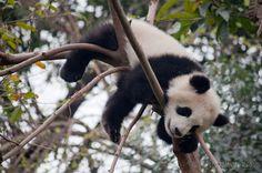 Baby Pandas sleeping on the tree!