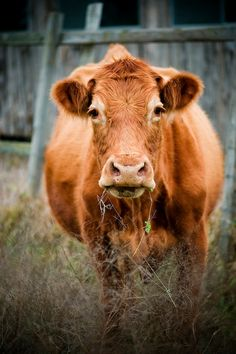 Texas Animal Photography - decorative photography print - wall art - home decor - cow photo - multiple sizes on Etsy, $32.70 AUD