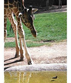 At the Reid Park Zoo in Arizona, Jasiri the giraffe inspects a duckling in his pond.