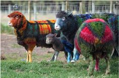 Redefining the Face Of Beauty...if your sheep look like this youve taken plaid too far LOL