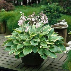 Growing Hosta Aureomarginata is easy. This hosta's gorgeous, green and gold foliage is offset by elegant, lavender blooms in late summer. Aureomarginata's evolving beauty makes it perfect for any shady or partially shady spot in the garden.  For a unique twist plant in a container for a long lasting planter. (Hosta fortunei)