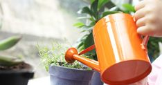 The 16 Best Healthy, Edible Plants to Grow Indoors- Starting a garden can be intimidating (or downright impossible if you don't have a yard), but that doesn't mean homegrown produce is out of the question. Growing Plants Indoors, Herbs Indoors, Growing Herbs, Growing Vegetables, Sensitive Plant, Rosemary Plant, Pots, Home Vegetable Garden, Herb Garden