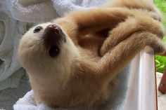 Oh, just the cutest sloth on the planet, NBD.