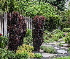 4 or 5 year old maintain barberries maintain the columnar form without pruning. www.towerflower.com   www.alantowerphoto.com