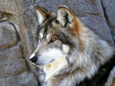Mexican grey wolf.