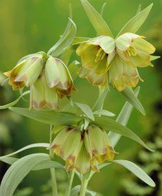 Fritillaria pontica - Fritillaria - Flower Bulb Index