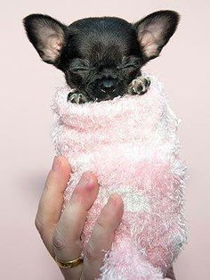 Effective Potty Training Chihuahua Consistency Is Key Ideas. Brilliant Potty Training Chihuahua Consistency Is Key Ideas. Teacup Chihuahua, Chihuahua Love, Chihuahua Puppies, Cute Puppies, Cute Dogs, Dogs And Puppies, Doggies, Baby Dogs, Baby Animals