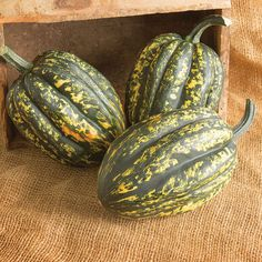 A delicious Acorn Squash that stores through the holidays! Easy to recognize for its unique, pixelated color pattern, Starry Night stays re. Squash Bugs, Acorn Squash, Greenhouse Film, Greenhouse Ideas, Cucumber Beetles, Courge Spaghetti, Squash Seeds, Powdery Mildew, Butternut Squash