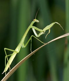 praying mantis - they are fascinating and do make me stop and stare but I wouldn't want to touch one