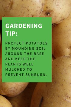 Protect potatoes by mounding soil around the base and keep the plants well mulched to prevent sunburn. #Potatoes #Potato #Gardening #GardeningTip #GardeningTip #SummerGardening Gardening Supplies, Gardening Tips, Garden Inspiration, Garden Ideas, Potato Gardening, Homestead Gardens, Lawn Edging, Hobby Farms, Garden Pests
