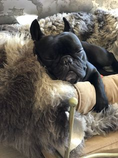 French Bulldog Blue Find Out More On The Adaptable French Bulldog Dogs Grooming French Bulldog Pictures, French Bulldog Blue, French Bulldog Puppies, French Bulldogs, Frenchie Puppies, Baby Bulldogs, English Bulldogs, French Blue, Cute Puppies