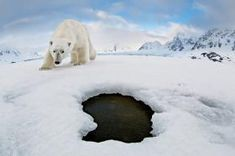 See what happens when a polar bear finds a camera Steel Penny, Fort Scott, Animals Are Beautiful People, Canon, Save Wildlife, Photography Career, Gordon Parks, Tromso, Bears