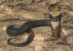 Considering there are over species of snakes on Earth, not all of them legless reptiles are perilous. Reptiles, Sea Krait, Inland Taipan, Green Anaconda, King Cobra Snake, Snake Turtle, Snake Images, Burmese Python, All About Snakes